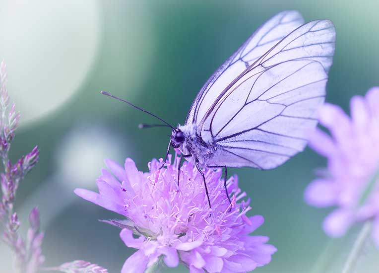 translucent purple butterfly