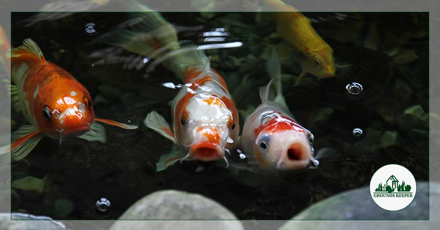what can you feed koi