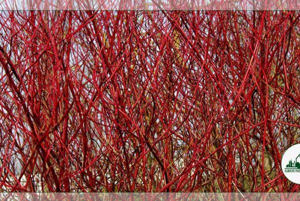 Spotlight On: Red & Yellow Twig Dogwood For Stunning Winter Color