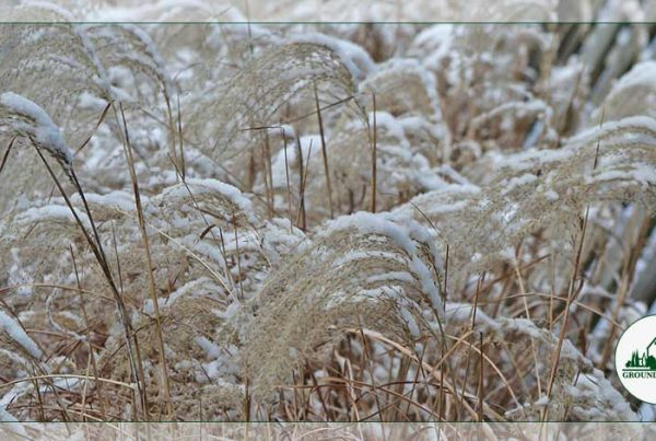 Spotlight On: Maiden Grass, Winter Darling Of New Jersey Landscapes