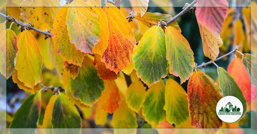 witch hazel autumn leaves