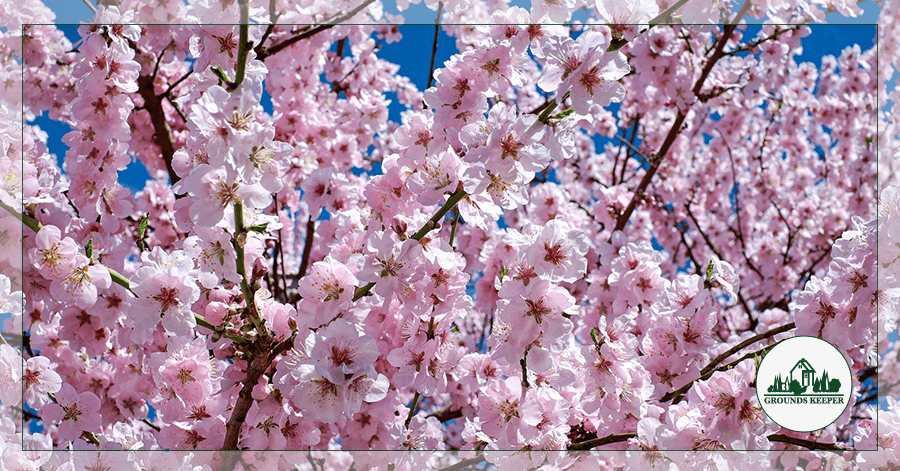 Spotlight On: Kwanzan Cherry And Their Spectacular Pink Blossoms