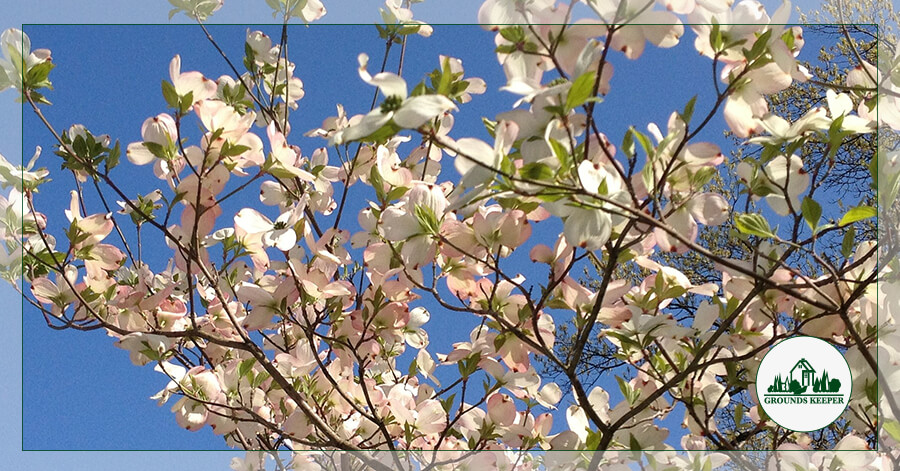 Spotlight On: Dogwood, And The Flowers That Aren't Flowers