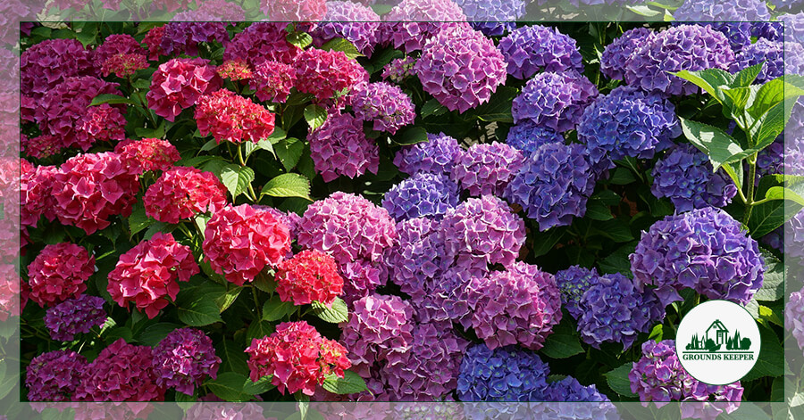 Spotlight On: Hydrangea, Long-Lasting Summer Blooms